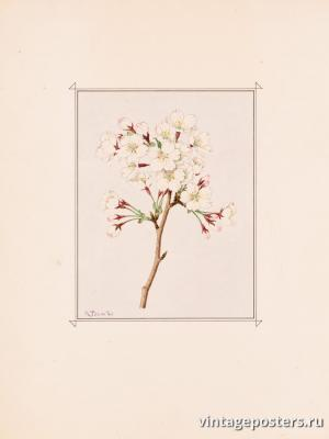 """Винтажный Ретро Постер """"Цветы сакуры сорта «Yoshino»"""" Япония 1921 для интерьера купить"""