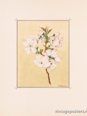 """Винтажный Ретро Постер """"Цветы сакуры сорта «Рассвет»"""" Япония 1921 для интерьера купить"""