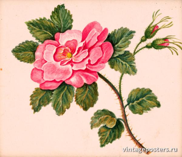 """Винтажный Ретро Постер """"Акварель Роза на стебле с листьями и нераспустившимися цветами"""" Франция 1830 для интерьера купить"""