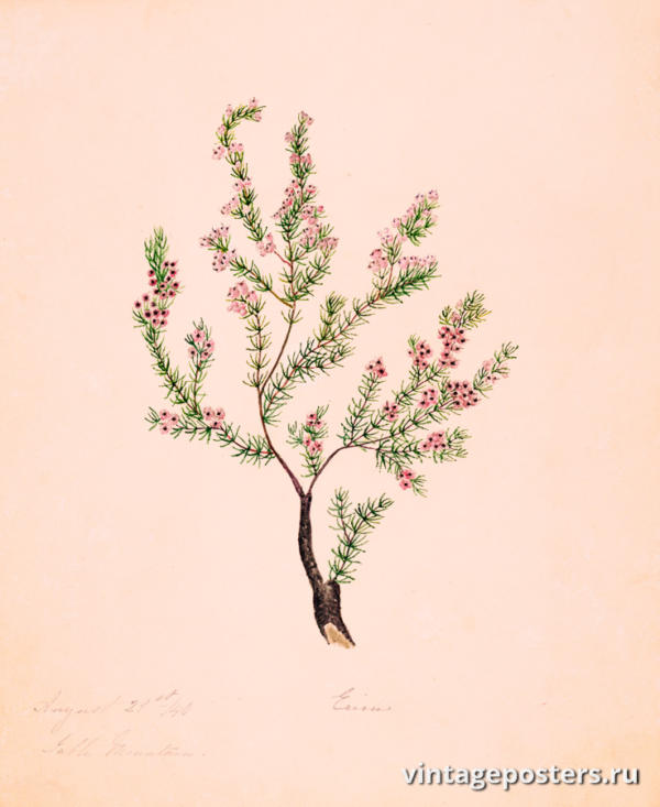 """Винтажный Ретро Постер """"Акварель Ветвь куста с игольчатой листвой и небольшими розовыми цветками"""" Франция 1830 для интерьера купить"""