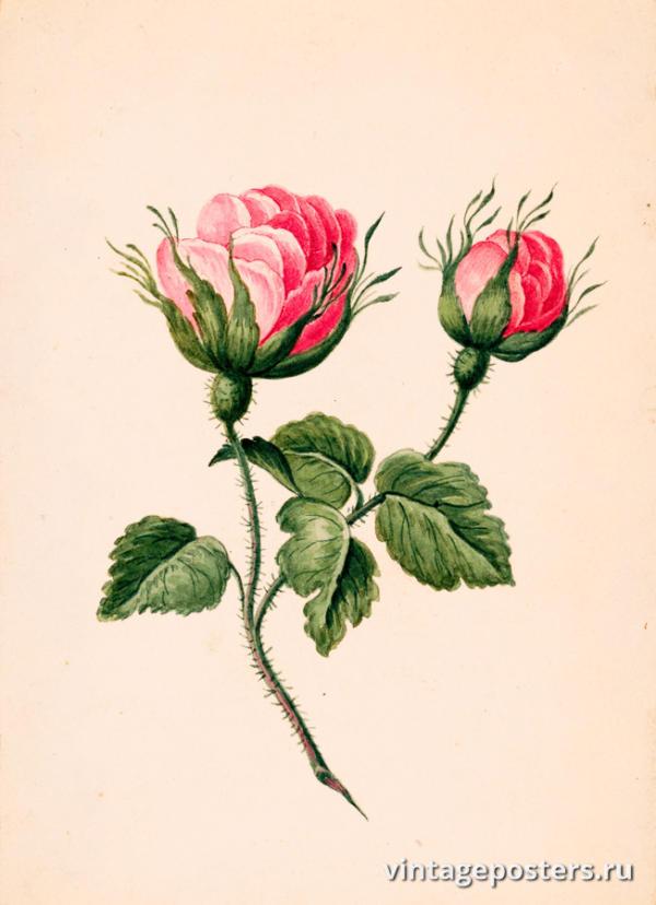 """Винтажный Ретро Постер """"Акварель Цветы розы на стебле с листьями"""" Франция 1820 для интерьера купить"""
