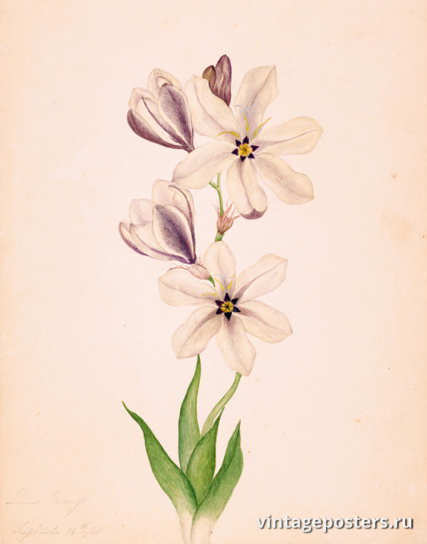 """Винтажный Ретро Постер """"Акварель Соцветия на стебле с листьями"""" Франция 1840 для интерьера купить"""